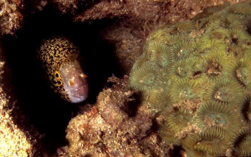 Moray Eel in hiding, Tioman Island